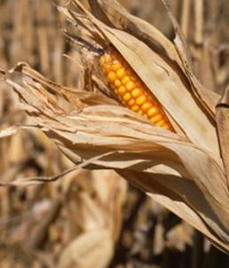 corn detail